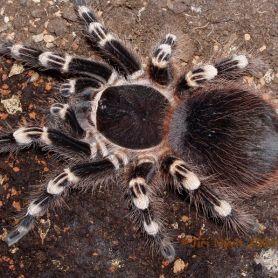 Nhện chân trắng-White knee tarantula