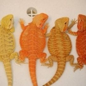 Rồng Úc - Bearded Dragon