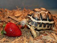 Rùa Da Báo - Leopard tortoise
