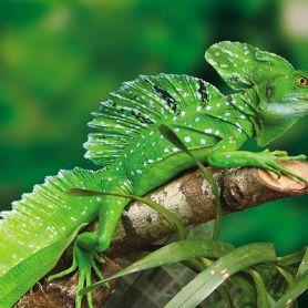 Thằn lằn Cảnh Green Basilisk