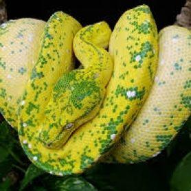 Trăn cây Green Tree Python