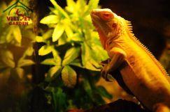 Rồng Nam Mỹ Bạch Tạng Vàng - Albino Iguana