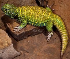 Dabb Lizard - Thằn Lằn Đuôi Gai