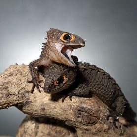 Red Eyes Crocodile Skink - Thằn Lằn Cá Sấu Mắt Đỏ