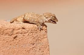 Helmeted Gecko