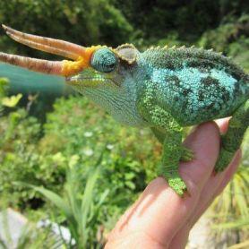 Jackson Chameleon