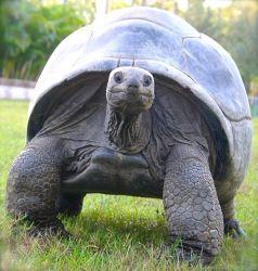Aldabra Tortoise - Rùa đảo cổ đại