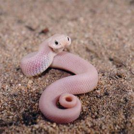 Hognose Snake - Rắn mũi hếch