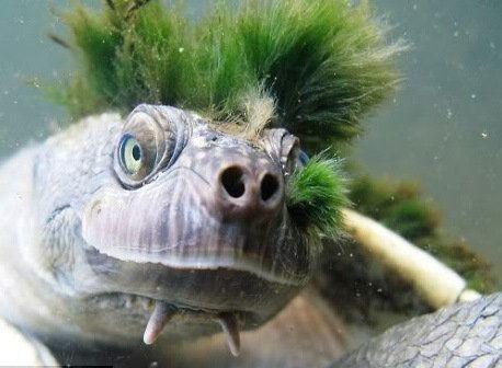 Hilary's Sideneck Turtle - Rùa Cổ Rắn Hilary