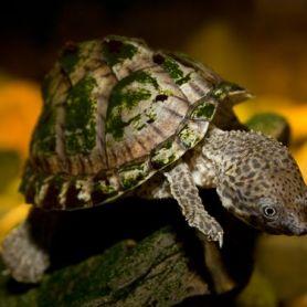 Razor Turtle - Rùa Lưỡi Dao