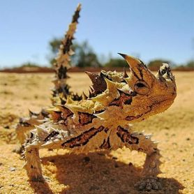 Thorny Devil Lizard - Thằn Lằn Gai Quỷ