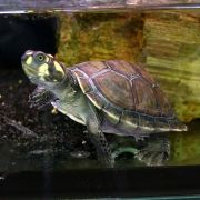 Yellow Spotted River Turtle