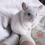 Sóc chuột Chinchilla