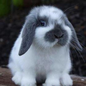 Thỏ Minilop Rabbit - 3 Tháng Tuổi
