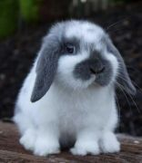 Thỏ Minilop Rabbit