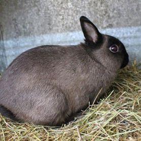 Thỏ Netherland Rabbit – Thỏ Lùn Hà Lan