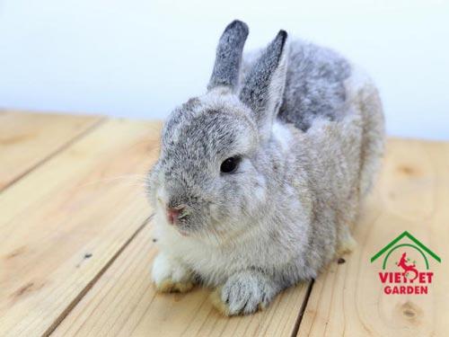 tho-netherland-rabbit-2