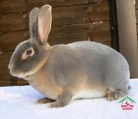 Thỏ Rex Rabbit