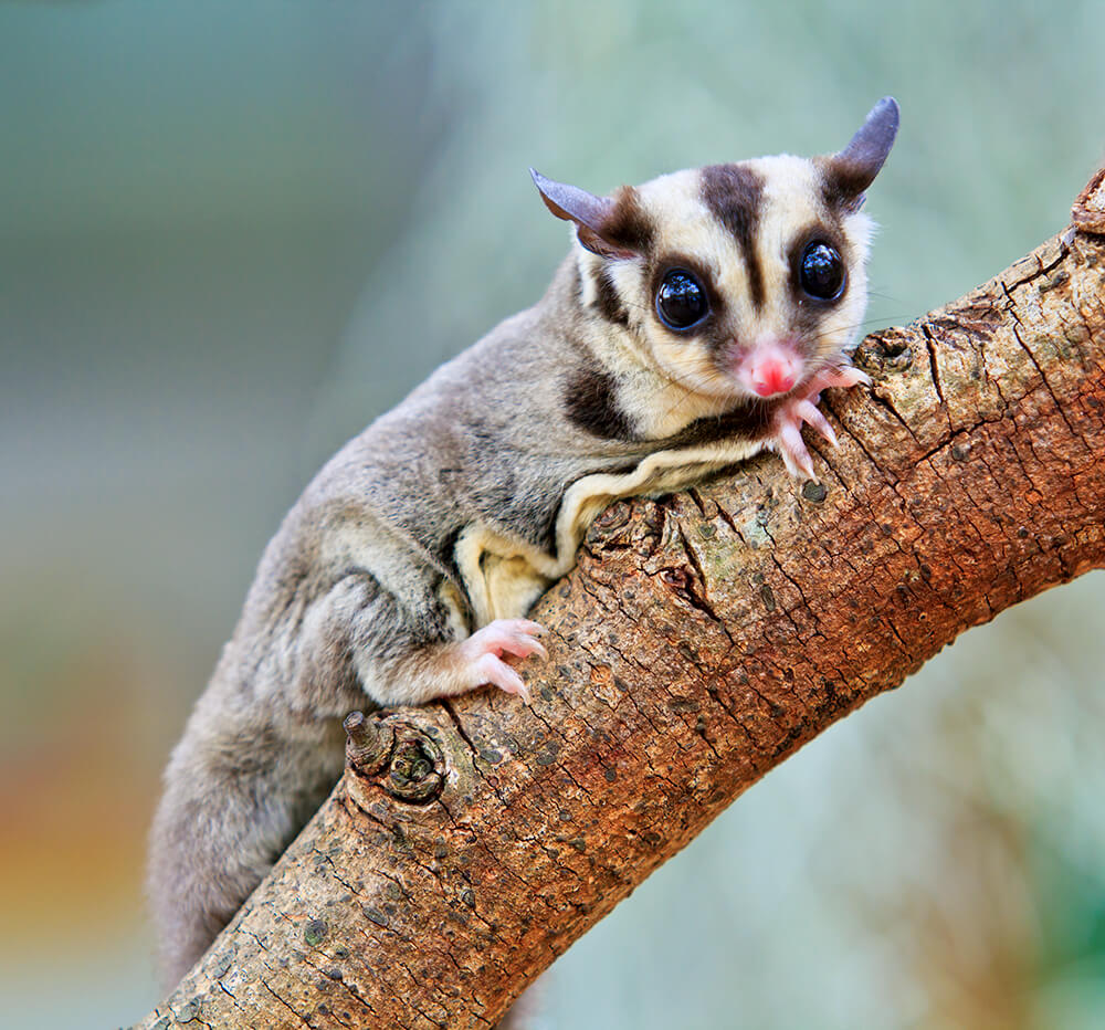 sugarglider-closeup