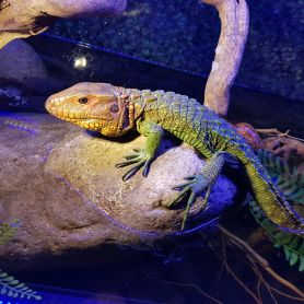Caiman Lizard - Thằn lằn cá sấu Nam Mỹ