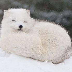 Cáo Tuyết - Arctic Fox