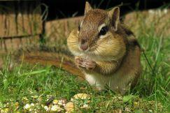 Sóc chuột - Chipmunk
