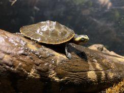 Pink Bellied Sideneck Turtle - Rùa Bụng Hồng 5cm