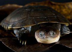 African Sideneck Turtle - Rùa Cổ Bên Châu Phi 3cm
