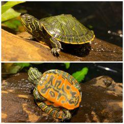 Red Belly Side-necked Turtle - Rùa Bụng Đỏ 5cm
