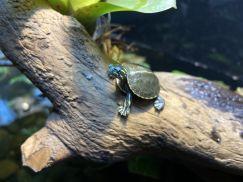 Western Painted Turtle -Rùa Vẽ Tây  3cm