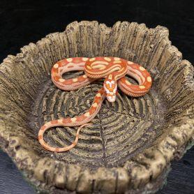 Amel Motley Corn Snake
