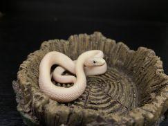 Blue Eye Rat Snake