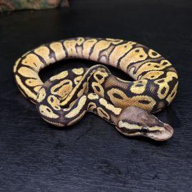 Vanila Pastel Ball Python - Female