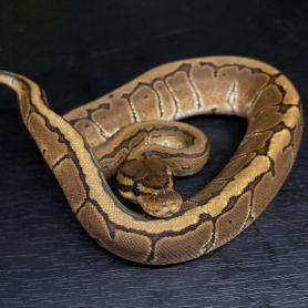 Pinstripe Ball Python - Female