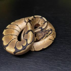 Stinger Bee Ball Python