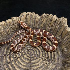 Rắn ngô - Corn Snake