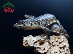 Thằn Lằn Thiết Giáp - Plated Lizard