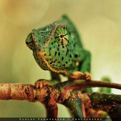 Senegal chameleon