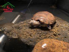 Rùa Bùn Tây Phi
