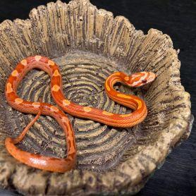Hypo Motley Corn Snake