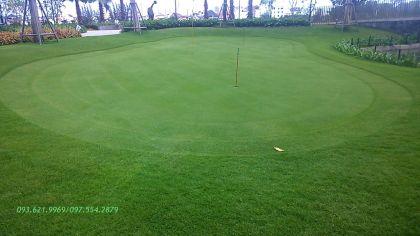 GREEN CỎ PASSPALUM CHO PUTTING GREEN TÂN CẢNG