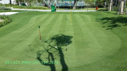GREEN PUTTING CỎ PASPALUM PLATILUM